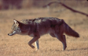 Carolina Beach Exploring Increased Coyote Sightings