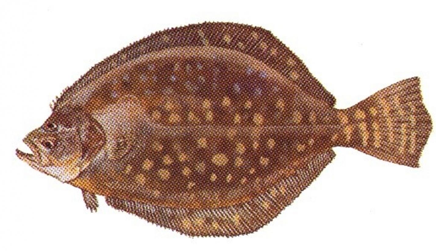 State Announces Short 2020 Recreational Flounder Season