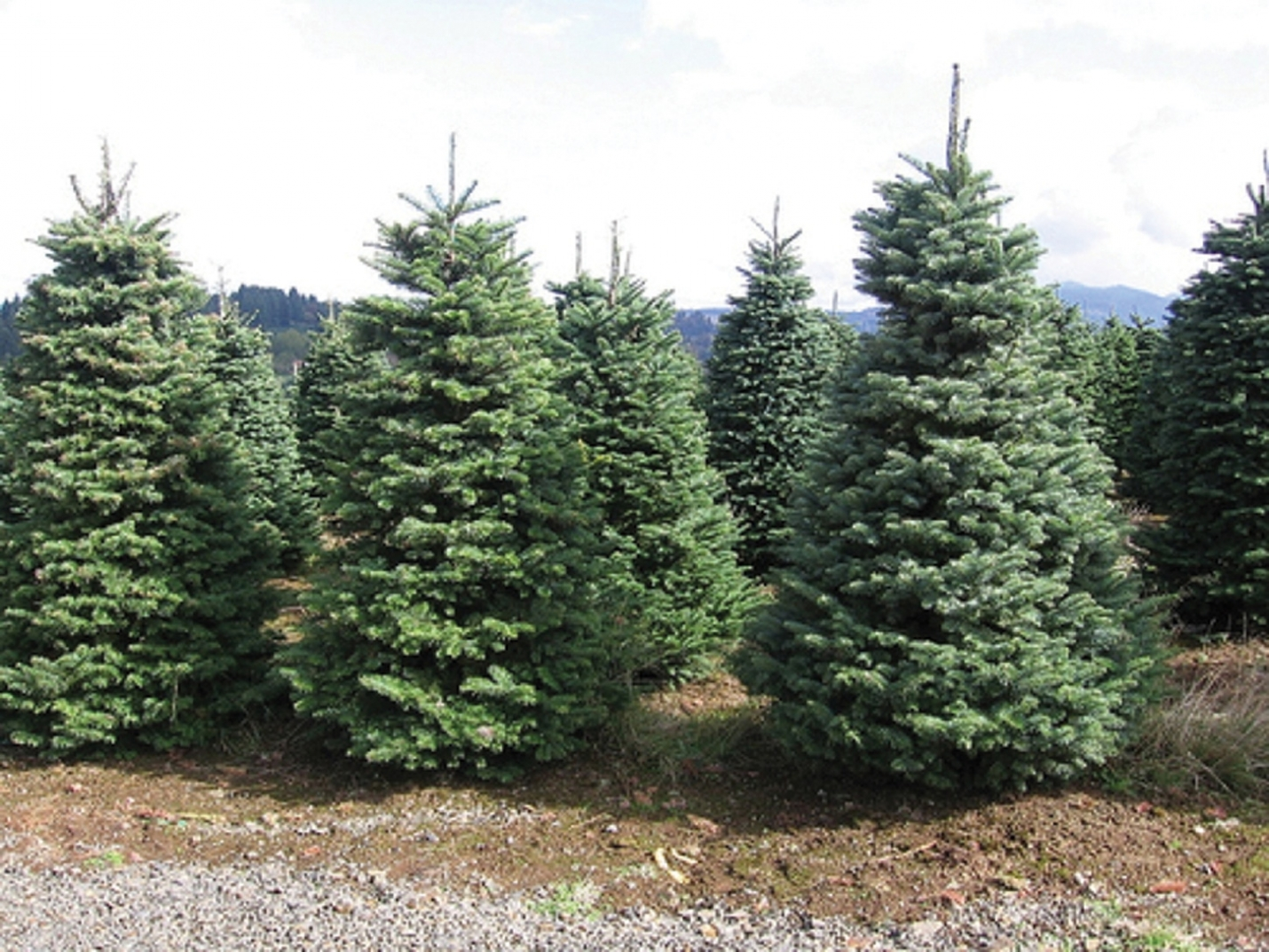County Offering Christmas Tree Recycling Starting Dec. 26th
