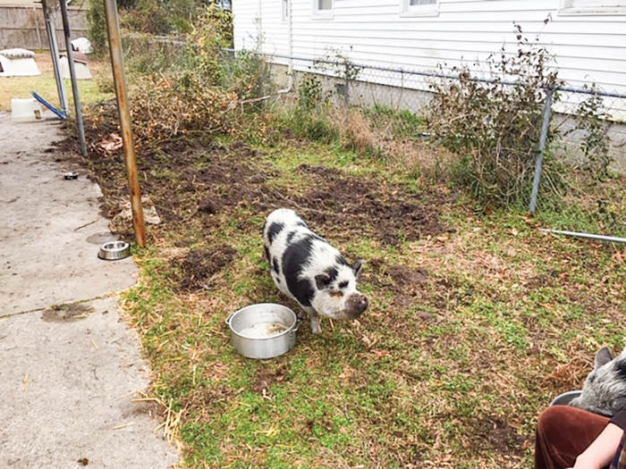 Photo of a pig in a residential yard in Carolina Beach. The Carolina Beach Planning and Zoning Commission expressed concerns with potential impacts of allowing residents to keep pigs as pets including noise, odor and other issues. The Town Council will consider an amendment to the Town's Code of Ordinances during their upcoming Thursday April 8th, meeting. (Photo: Town of Carolina Beach)