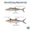 State urges fishermen to learn the difference between king mackerel and Spanish mackerel