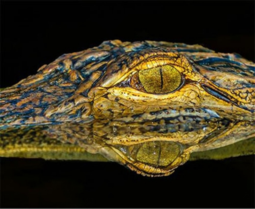 """One Eye,"" a portrait of a young American alligator by Frank Ellison of Clemmons, took top honors in the agency's Wildlife in North Carolina photo competition."